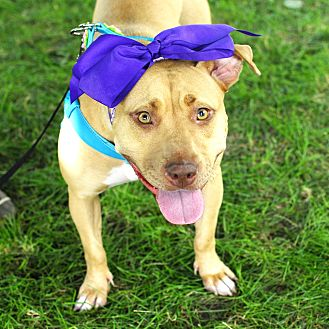 American Pit Bull Terrier/Pit Bull Terrier Mix Dog for adoption in Detroit, Michigan - Lolly Rue-Pending!