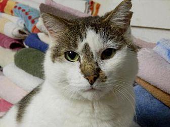 Domestic Shorthair Cat for adoption in Herndon, Virginia - Indiana Jones