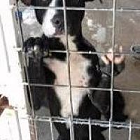 Labrador Retriever Mix Dog for adoption in Odessa, Texas - Oreo