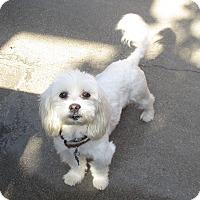 Adopt A Pet :: Anton - Lomita, CA