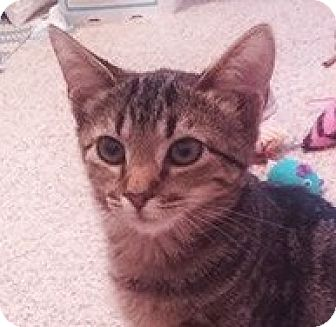 Domestic Shorthair Kitten for adoption in Burlington, North Carolina - ARIANA