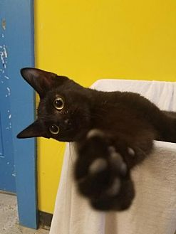 Domestic Shorthair Cat for adoption in Mt Vernon, Indiana - Tootsie