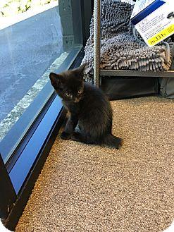 American Bobtail Kitten for adoption in Atlanta, Georgia - PJ