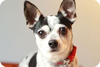 Chihuahua Mix Dog for adoption in Romeoville, Illinois - Drake
