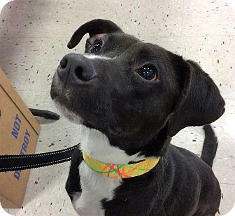 Labrador Retriever/Terrier (Unknown Type, Medium) Mix Dog for adoption in Schaumburg, Illinois - Harper