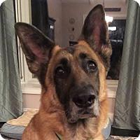 Adopt A Pet :: VELVET - Albany, NY