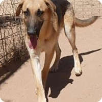 German Shepherd Dog Mix Dog for adoption in Las Cruces, New Mexico - Koda