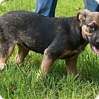 Adopt A Pet :: Bella - Brattleboro, VT
