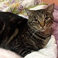 Domestic Shorthair Cat for adoption in San Jose, California - GAP-Curtis Boy
