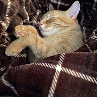 Domestic Shorthair Cat for adoption in Arlington, Virginia - Jackson