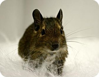 Degu for adoption in West Des Moines, Iowa - Amy