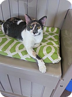 Domestic Shorthair Cat for adoption in Chesapeake, Virginia - Judy