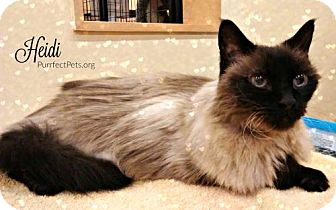 Siamese Cat for adoption in Overland Park, Kansas - Heidi