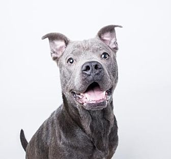American Pit Bull Terrier Mix Dog for adoption in Decatur, Georgia - Grayson