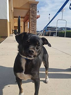 Terrier (Unknown Type, Small) Mix Dog for adoption in Fresno, California - Jedi