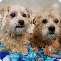 Adopt A Pet :: Chocolate & Chip - Los Angeles, CA