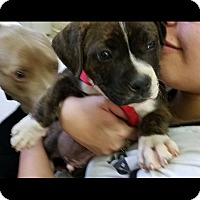 Adopt A Pet :: Peaches - Stamford, CT