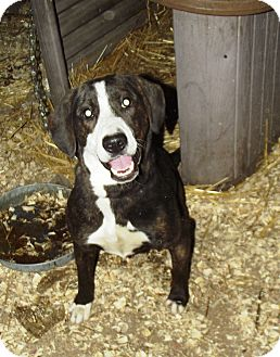 Hound (Unknown Type)/Mountain Cur Mix Dog for adoption in Morgantown, West Virginia - Hank