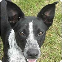 Adopt A Pet :: Nicey-Aussie - Charleston, AR