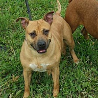 American Pit Bull Terrier Dog for adoption in Cherry Valley, New York - Brownie