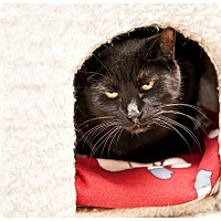 Domestic Shorthair Cat for adoption in Middletown, New York - Don