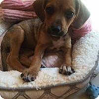 Adopt A Pet :: Josie - Marlton, NJ