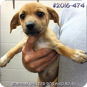 Dachshund Mix Puppy for adoption in Bonham, Texas - 2016-474
