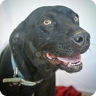 Labrador Retriever/Pit Bull Terrier Mix Dog for adoption in St. Francisville, Louisiana - Tucker