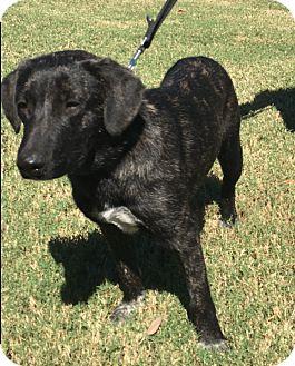 Beagle/Blue Heeler Mix Dog for adoption in Cat Spring, Texas - Mac