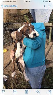 Hound (Unknown Type) Mix Puppy for adoption in Manhasset, New York - Dasie