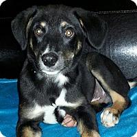 Adopt A Pet :: hank - Pompton Lakes, NJ