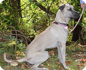 Great Dane/Black Mouth Cur Mix Dog for adoption in White Cottage, Ohio - Gus