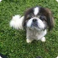Adopt A Pet :: Cosmo - Duluth, GA