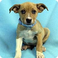 Adopt A Pet :: Hallie - Westminster, CO