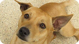 Cardigan Welsh Corgi/Labrador Retriever Mix Dog for adoption in Scottsdale, Arizona - Monti (courtesy)
