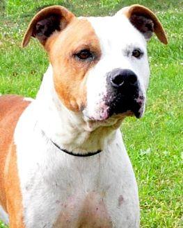American Bulldog Dog for adoption in Sebastian, Florida - Daisy