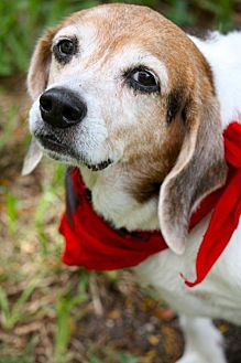 Beagle Dog for adoption in Miami, Florida - Daphne