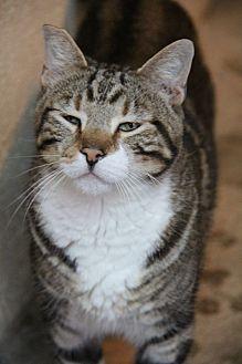 Domestic Shorthair Cat for adoption in Centerton, Arkansas - Felix
