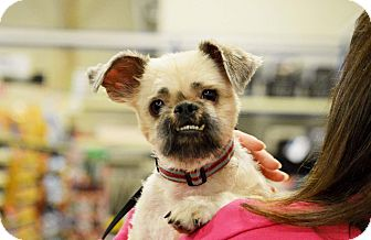 Terrier (Unknown Type, Small) Mix Dog for adoption in Rockford, Illinois - Gizmo