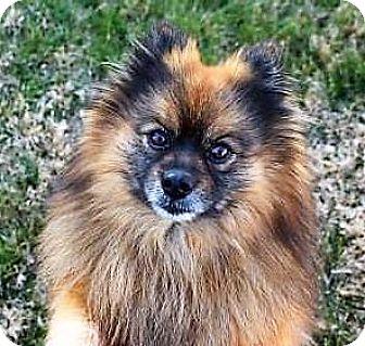 Pomeranian Dog for adoption in Fairfax, Virginia - Bear