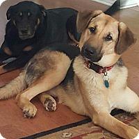 Adopt A Pet :: Gabriel - SOUTHINGTON, CT