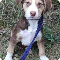 Adopt A Pet :: Aurora - Pipe Creed, TX