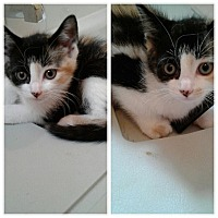 Adopt A Pet :: Cici - New  York City, NY