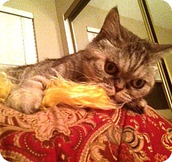 Exotic Cat for adoption in Beverly Hills, California - Lili