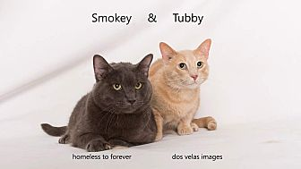 Russian Blue Cat for adoption in Arcadia, California - Smokey & Tubby