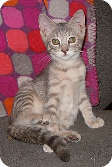 Domestic Shorthair Kitten for adoption in Creston, Iowa - Maniac