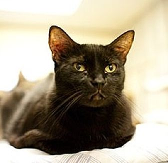 Domestic Shorthair Cat for adoption in Lago Vista, Texas - Alicia
