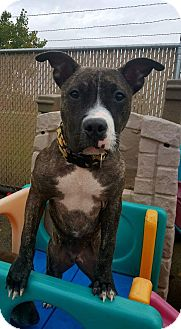 American Pit Bull Terrier Mix Dog for adoption in West Allis, Wisconsin - Sookie