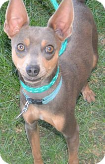 Chihuahua/Miniature Pinscher Mix Dog for adoption in Fruit Heights, Utah - Andratti