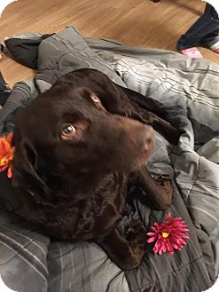 Labrador Retriever Dog for adoption in Streamwood, Illinois - Daisy